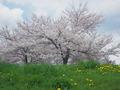手宮公園の桜 その1