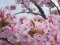 手宮公園の桜 その2